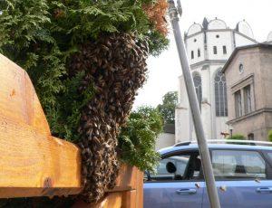 Bienenschwarm am Domplatz in Halle/S. 2015